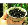 Jaltomate Jaltomata Procumbens Fruta Semillas Para Plantas