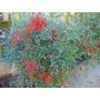 Bambu Sagrado - Nandina Fire Cracker Semillas Para Plantas