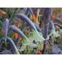 Semillas De Bromelia Nativa Puya Mirabilis Para Plantas