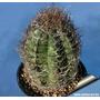 40 Semillas De Cactus Astrophytum Capricorne Senile