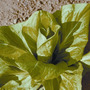 Achicoria Radicheta De Hojas Anchas Semillas Para Plantas