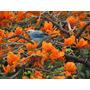 Bucare Ceibo De Montaña Erythrina Semillas Para Plantas