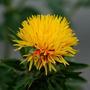 Semillas Cártamo Amarillo. De Hojas Y Flores Comestibles
