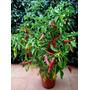 30 Semillas Aji Locoto,capsicum Pubescens,originario Bolivia