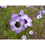 Gilia Ojos De Pájaro Flor Anual Tricolor Semillas P/ Plantas