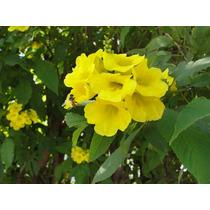 Ipe De Jardin, Tecoma Amarilla - Semillas Para Plantas