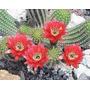 100 Semillas De Cactus Echinopsis Huascha (flor Roja)