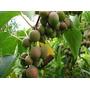 Mini Kiwi Actinidia Arguta Fruta Bonsai Semillas P/ Plantas