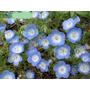 Baby Blue Eyes Nemophila Insignis Flor Semillas Para Plantas