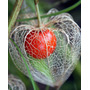 Semillas De Linterna China - Physalis Alkekengii