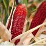 Maiz Rojo Gigante Semillas