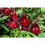 Roselle - Rosa De Jamaica - Hibiscus Sabdariffa - Semillas
