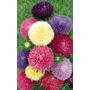 Aster De China Callistephus Semillas Plantas P/macetas Flor