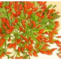Pimienta Malaguetinha Semillas Para Plantas