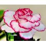 Semillas De Rosa Del Desierto - Flor Blanca Bordes Rojos