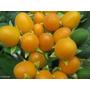 Mini Tomate De Arbol Cyphomandra Abutiloides Fruta Semillas