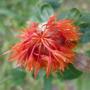 Semillas Cártamo Rojo. De Hojas Y Flores Comestibles