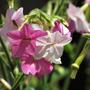 Nicotiana Mutabilis Semillas Para Plantas