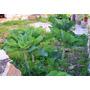 Coliflor Baston - Palmera Al Instante Semillas Para Plantas