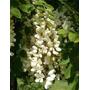 Sobre 10 Semillas Siembra Acacia Blanca Robinia Pseudoacacia