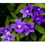 Violeta De Arbusto Browallia Grandiflora Flor Semillas