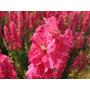 Semillas Espuela De Caballero Rosa Consolida Ajacis