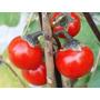 Tomate De Los Caníbales Solanum Uporo Flor Hierba Semillas