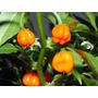 Pimienta Habanero Naranja Capsicum Semillas Para Plantas
