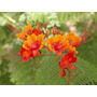 Pride Of Barbados Roja - Flamboyant De Jardin Semillas
