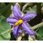 Semillas De Fruta De Lobo - Lobeira - Solanum Lycocarpum