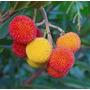 Semillas De Arbutus Unedo Madroñero Madroño Fruta Árbol