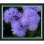 Ageratum Azul Enano - Agerato Semillas Para Plantas