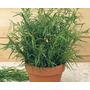 Estragon Ruso Tarragon Artemisia Hierba Semillas P/ Plantas