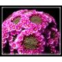 100 Semillas De Cactus Mammillaria Backebergiana Frescas