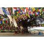 Bodhi Tree - Árbol De Buda - Ficus Religiosa Semillas Bonsai