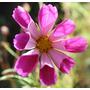Cosmos Seashells Flor Flores Semillas Para Plantas
