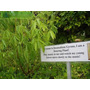 Semillas Dancing Plant - Planta Bailarina - Desmodium Gyrans