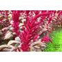 Amaranto Cortinas De Terciopelo Amaranthus Cruentus Semillas