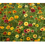 Zinnia Persian Carpet Flor Semillas