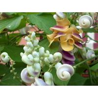 Enredadera Caracol, Vigna Caracalla - Semillas Para Plantas