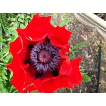 Amapola Beauty Of Livermere - Flor Semillas Para Plantas