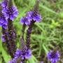 Verbena Azul Oscuro Verbena Tenuisecta Semillas