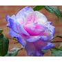 Semillas De Rosa Remorse, Exóticas, Rosas Raras