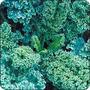 100 Semillas De Kale Variedad Blue Curled