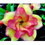 Semillas De Rosa Del Desierto - Flor Doble Sweet Candy