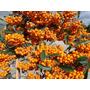 Semilas De Crataegus Naranja Bonsai Cerco Vivo Pyracantha