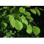 Semillas De Palosanto De La India - Dalbergia Latifolia