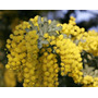 Semillas De Acacia Bayleyana (acacia Mimosa)
