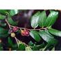 Sweet Sandpaper Fig De Australia Semillas Para Plantas