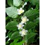 Kiwi Plateado Actinidia Polygama Fruta Enredadera Semillas